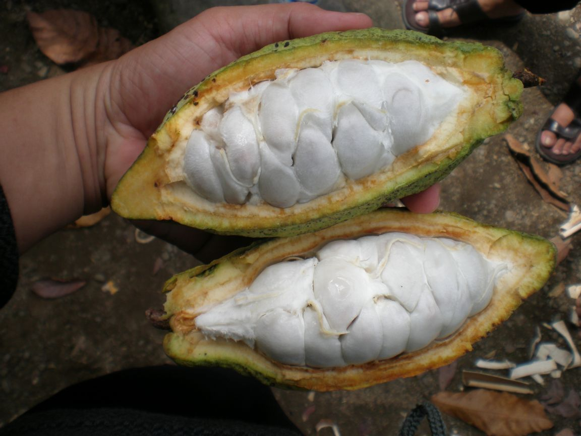 Cacao pods image (002)